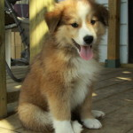 rough collie cross