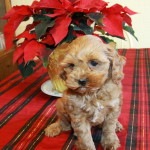 Bringing Home A Puppy For Christmas