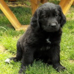 Adorable Nova! Very sweet Newfie Retriever puppy we had, sister to our Dakota!