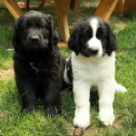 Newfoundland x Golden Retriever Puppies!