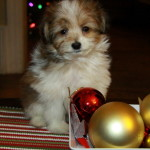 We have fluffy and small Christmas puppies for sale.