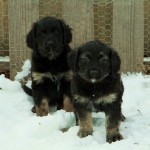 Two adorable Newfoundland x Golden Retriever Puppies, black and tan colouring