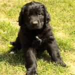 Newfoundland x Golden Retriever Puppies! August 2014!