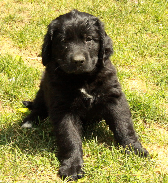 Newfoundland X Golden Retriever Puppies Puppies For Sale Dogs