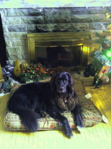 Newfie Retriever Puppies For Sale are stunningly beautiful adults!