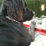 Lounging at the lake, the Newfie x Retriever dogs love water