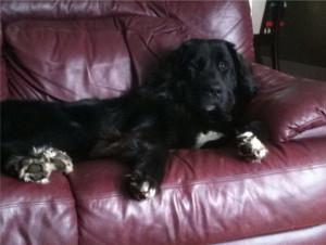 Giant Breed Newfoundland x Golden Retriever Dogs