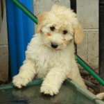 Goldendoodle Puppies For Sale and lovable and playful pups.