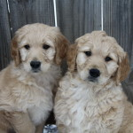 Beautiful goldendoodle puppies for sale, enjoying the snow outside.