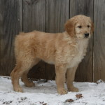 Golden doodle puppies enjoy the snow