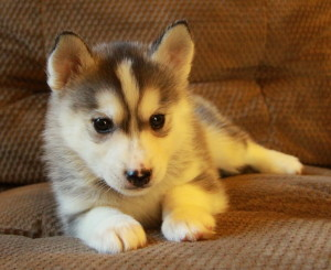 Husky puppies for sale come in a variety of colours.