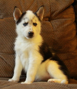 Gorgeous husky puppies for sale in Hamilton
