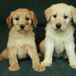 Goldendoodle puppies-one female and one male