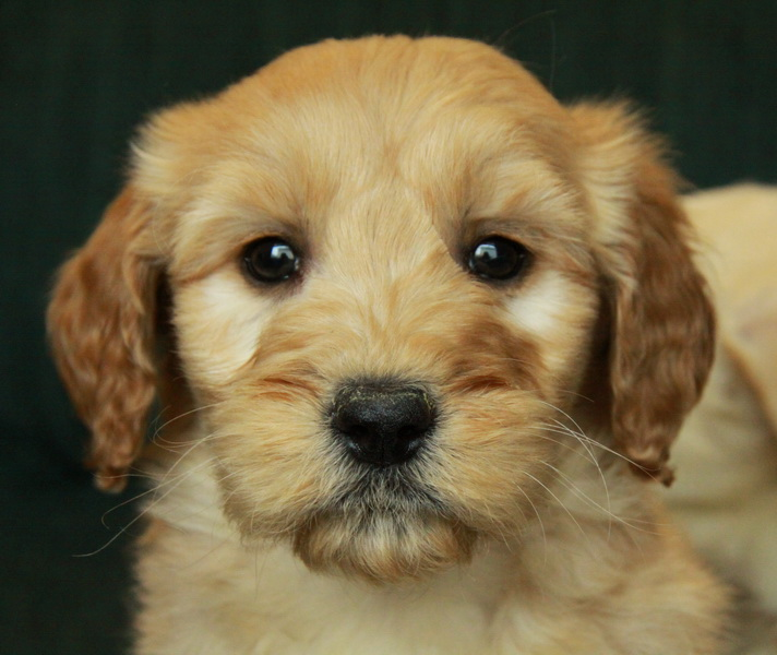 Cute as a button, this little goldendoodle female will steal your heart!
