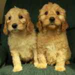 Two sweet goldendoodle puppies for sale, looking a little mischievious!
