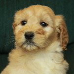Apricot wavy goldendoodle puppies for sale