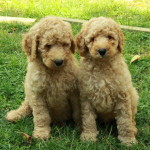 Labradoodle and Goldendoodle Puppies For Sale !