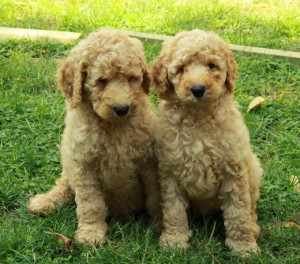 We always enjoy having wonderful goldendoodle puppies for sale in our family.