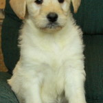 Adorable little male golden doodle puppy for sale