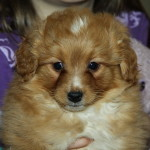 Gorgeous red/white pomeranian x toy poodle