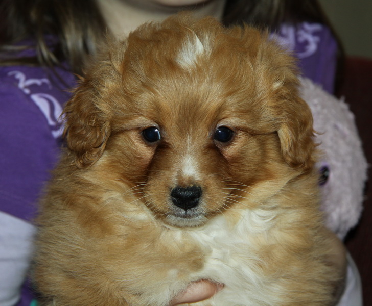 Gorgeous red/white pomeranian x toy poodle : Puppies for Sale : Dogs ...