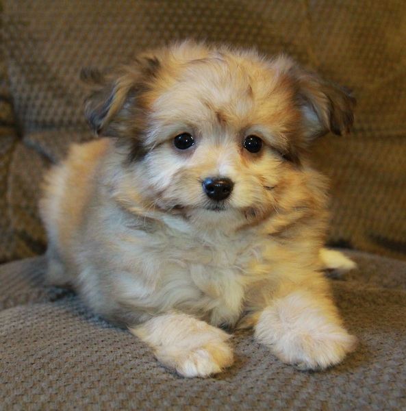 Stunning sable Pomeranian Poodle : Puppies for Sale : Pups for sale in ...