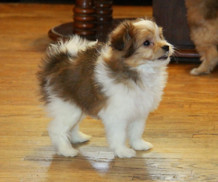 Peek! Black and white Pomeranian Poodle : Puppies for Sale : Dogs for ...