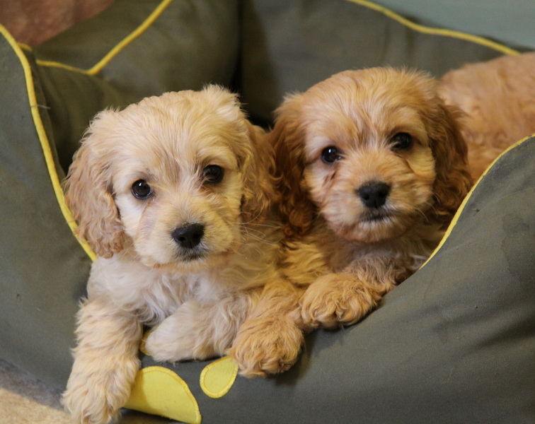 Gorgeous blond and apricot cockapoo puppies  They love their