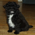 Black and white Pom Poo puppies for sale - almost wearing a tux!