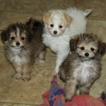 Pomeranian Crosses – Puppies For Sale
