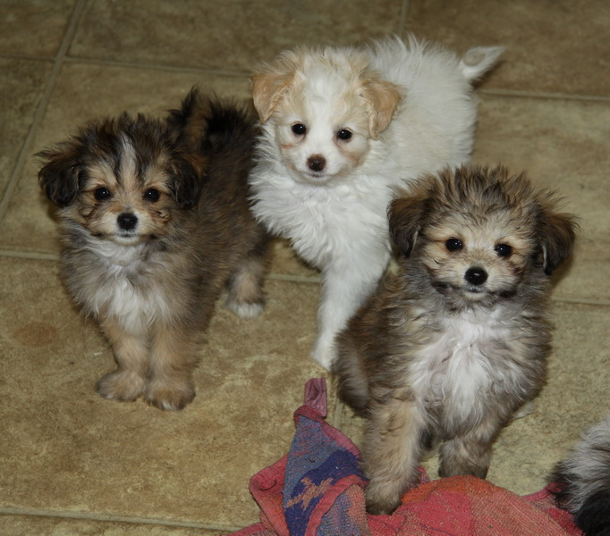 Pomeranian and poodle cross : Puppies for Sale : Dogs for sale in ...