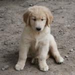 A stunning blond Newfoundland x golden retriever puppy - ADORABLE!