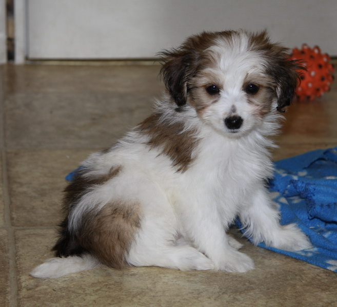"Pomeranian x toy poodle puppy for sale ""Our Annie"" : Puppies for ..."