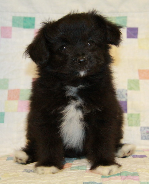 Pomeranian Crosses Puppies For Sale Curious Puppies