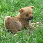 Funny little Pom Chi puppy! Loves the grass!