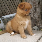 Cute and fluffy Pom Chi Puppy!