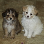 Brother and sister Pomeranian x toy poodle puppies