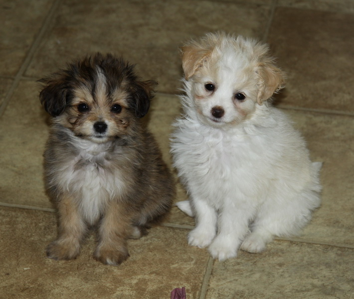 Brother and sister Pomeranian x toy poodle puppies : Puppies for Sale ...