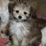 Awww...cute pom poo puppy!