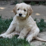 Adorable cockapoo puppy