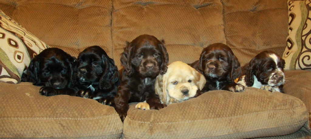 Georgias Litter of American Cocker Spaniel Puppy we had for sale