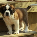 Adorable Saint Bernard pups for sale
