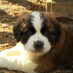 Cute Saint Bernard puppy for sale - love it!