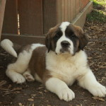 Female Saint Bernard puppy for sale