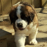 Fuzzy Wuzzy - our Saint Bernard puppy for sale