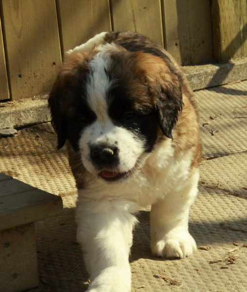 Fuzzy Wuzzy – our Saint Bernard puppy for sale