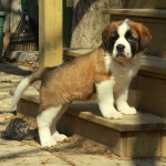 Gorgeous Saint Bernard puppies for sale - precious puppies!