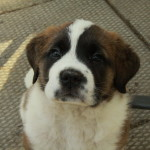 Heart melting Saint Bernard puppy for sale - gorgeous female