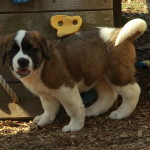 Male Saint Bernard puppy for sale - so sweet!