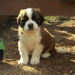 Saint Bernard puppy for sale posing so sweetly!